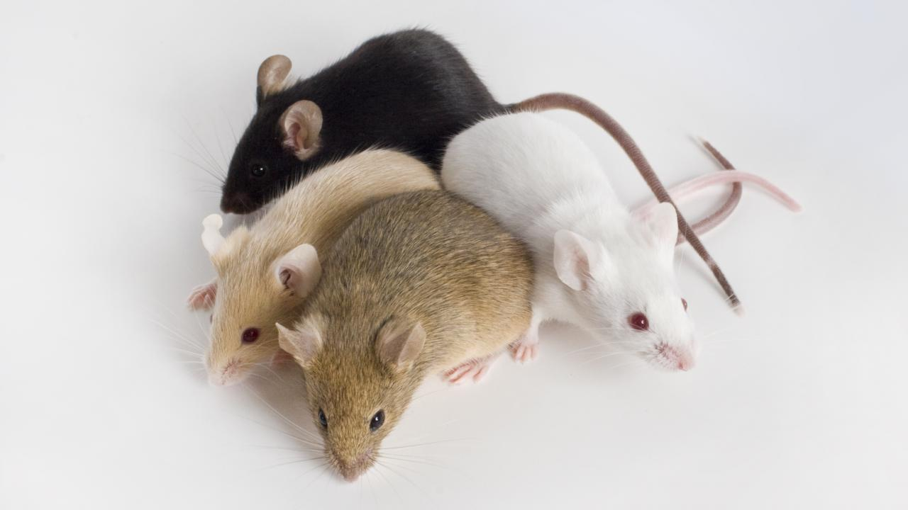 different colored laboratory mice