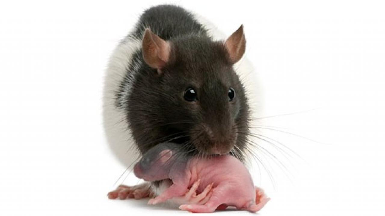 rat mother with pup